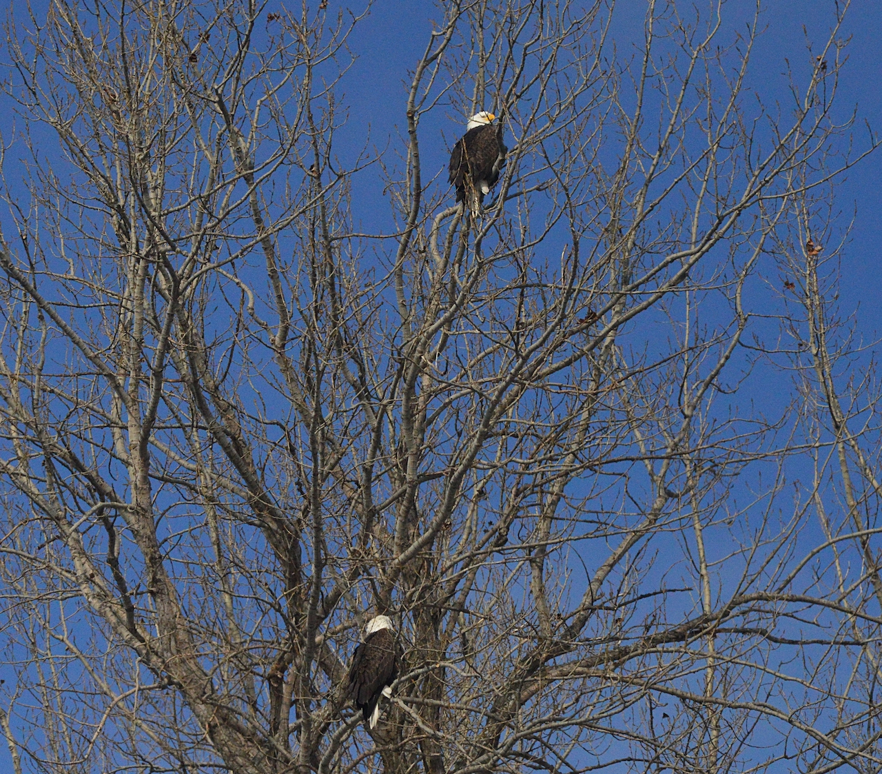 Bald eagles atop the tree (photo)
